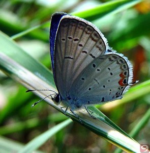 Eastern-Tailed-Blue-Butterfly