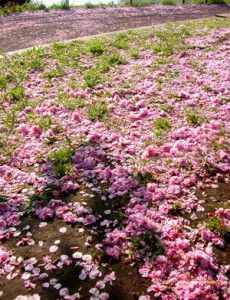 carpet of pink petals